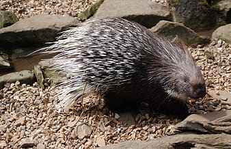 Black and white porcupine