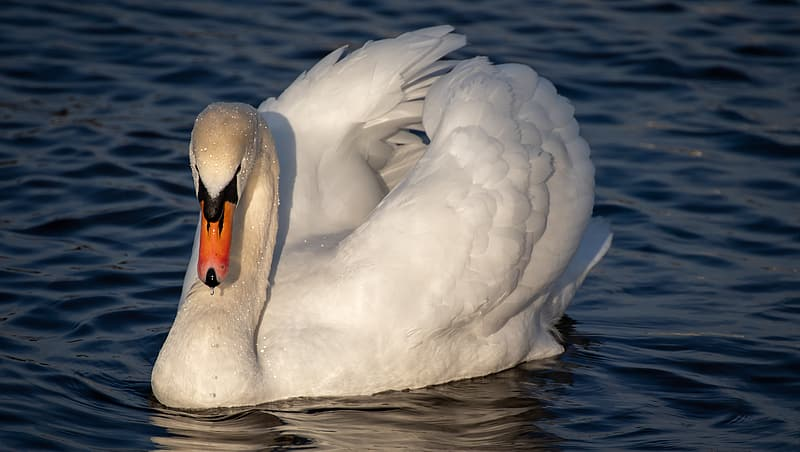 White swan on body of water during daytime
