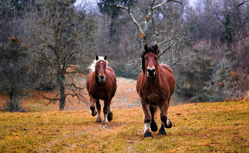 Two brown horses running on green grass in the middle of the forest