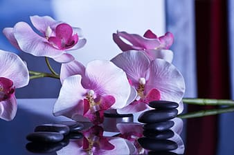 Pink moth orchid flowers