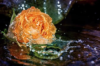Orange rose in water with water droplets