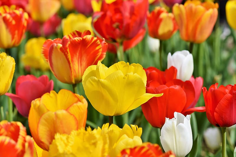 Close-up photography of yellow, white, and red tulip field