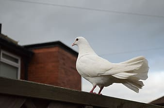White dove perched on brown wooden surface