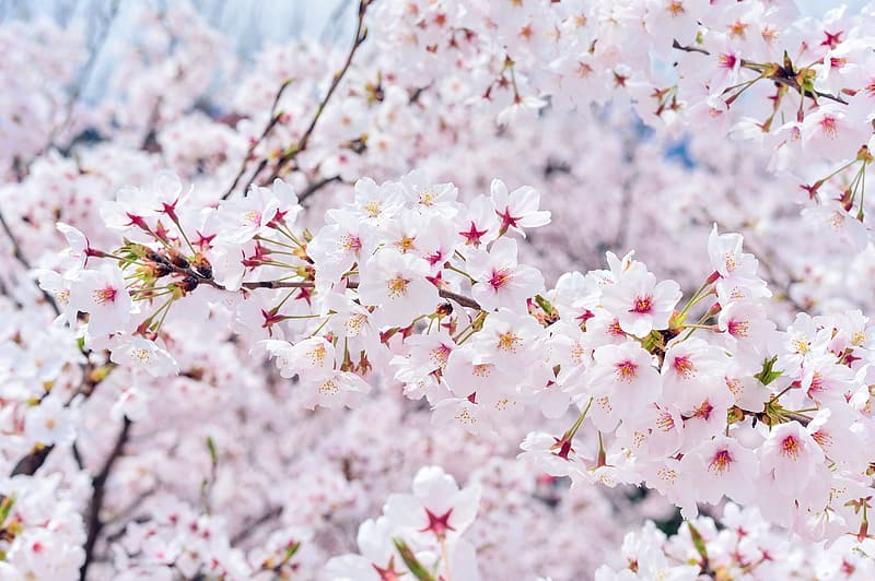 Pink-and-white cherry blossoms in bloom close up photo
