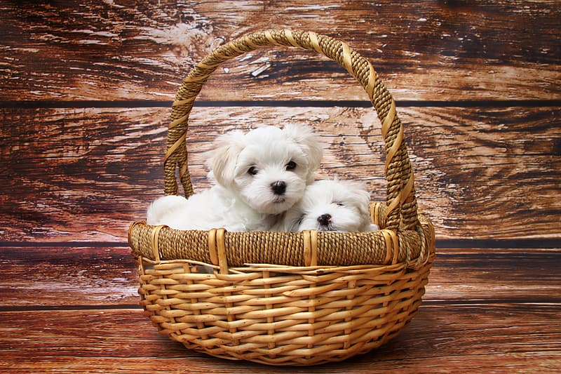 Two short-coated white puppies on brown wicker basket