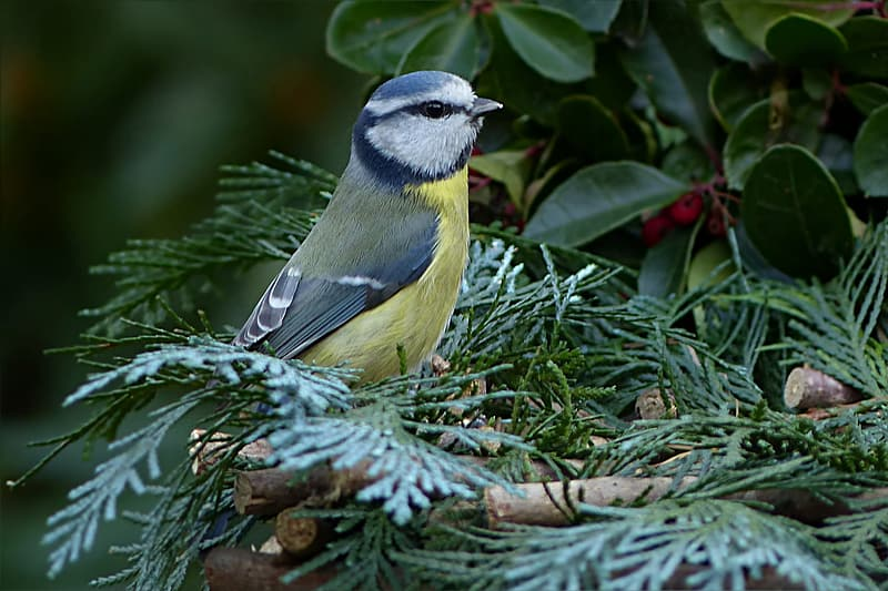Yellow and white bird on green leafed tree