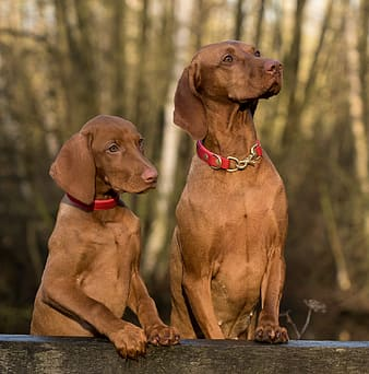 Photo of two Viszla dogs