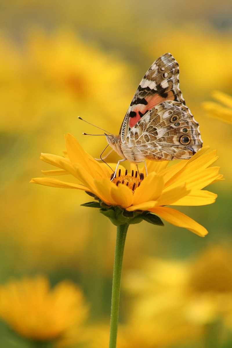 Painted lady butterfly perched on yellow flower
