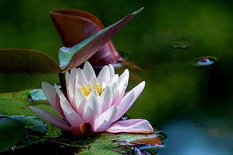 White lotus flower on water