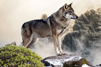 Grey and white wolf standing on the rock