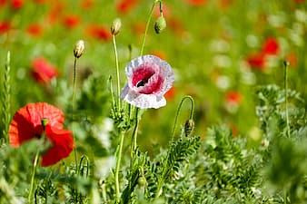 Pink and white poppies selective-focus photo