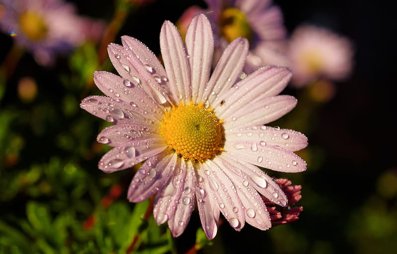 Selective focus photography of purple daisy flower
