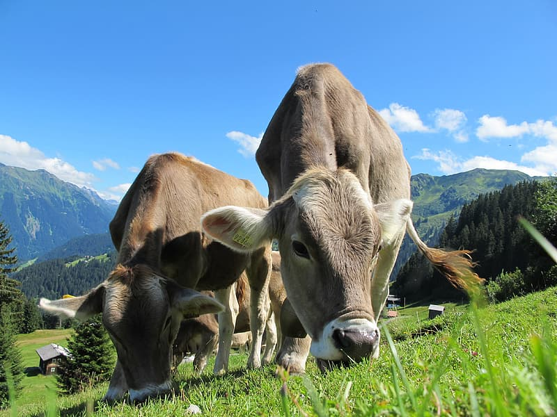 Herd of brown cattle on green grass field under blue sky during daytime close-up photography
