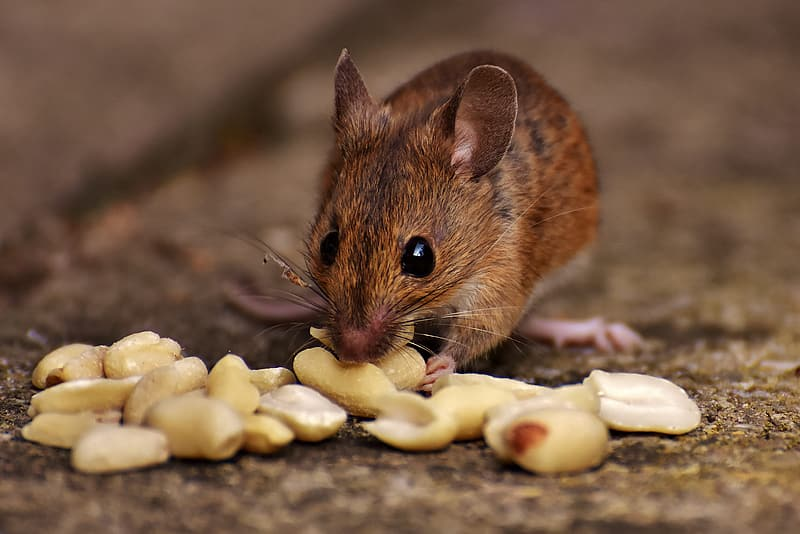Brown mouse eating