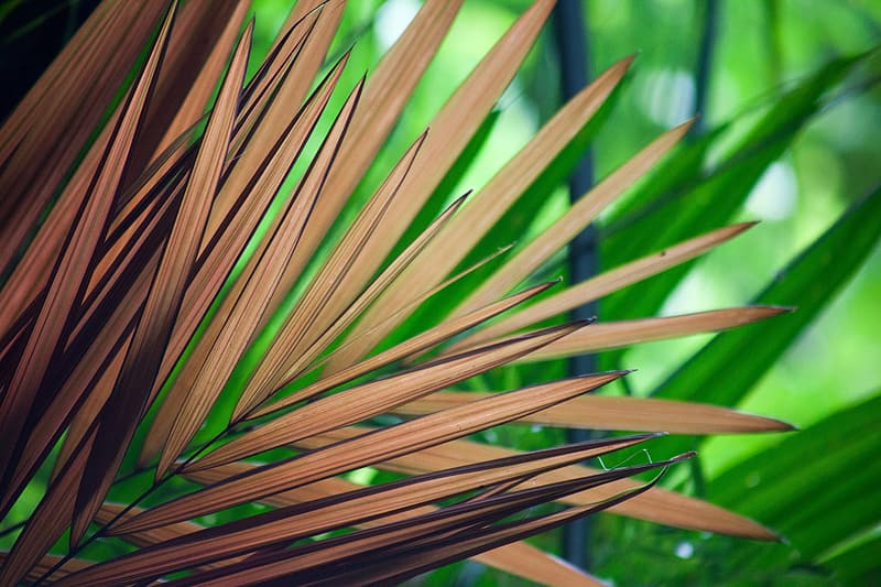 can brown palm leaves turn green again