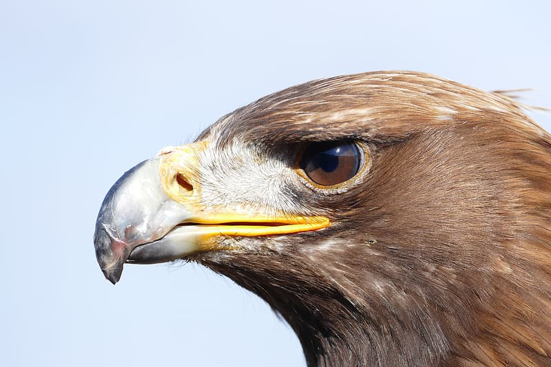 Brown eagle with white and yellow beak