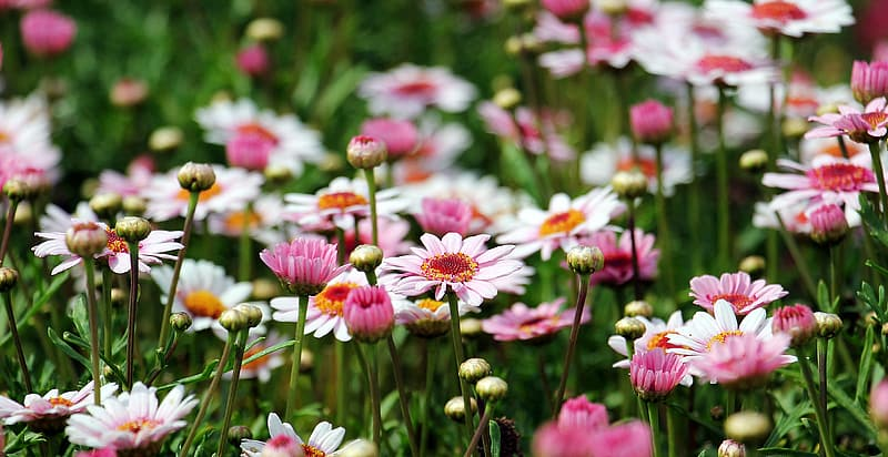Selective focus photography of pink daisy flowers