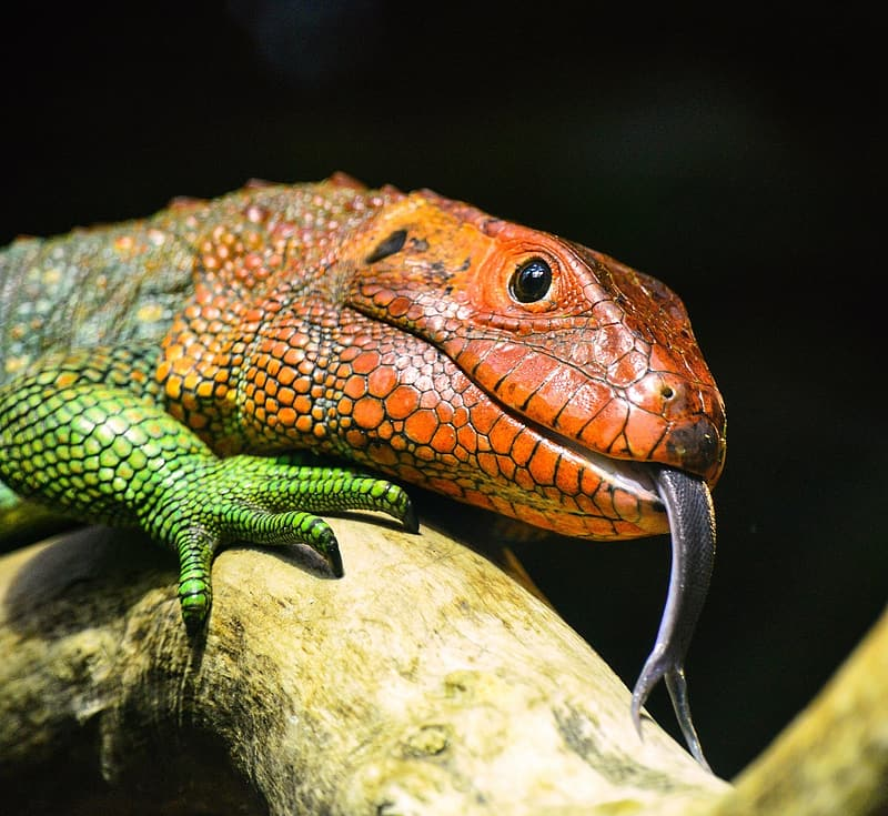 Selective focus photography orange and green lizard on brunch