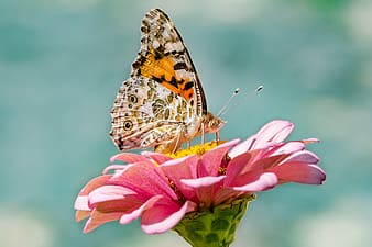 Painted lady butterfly perched on pink flower in close up photography during daytime