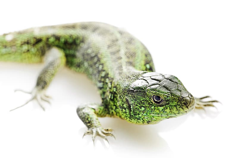 Green and black lizard on white surface
