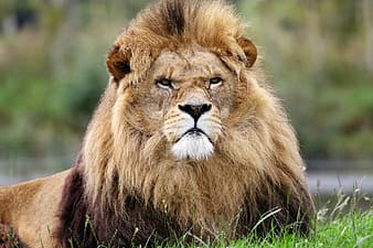 Lion lying on grass at daytime photo
