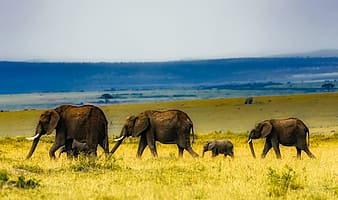 Four grey elephants on green grass