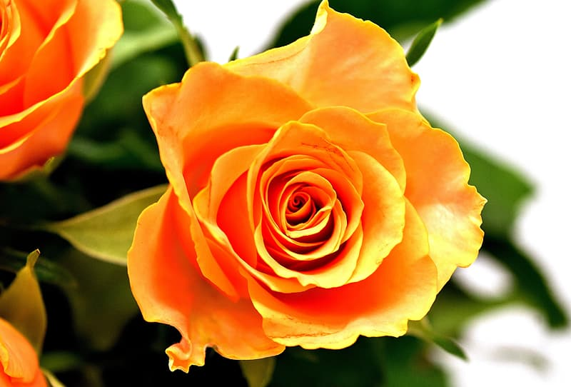 Close up photography of yellow rose