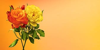 Yellow and red roses in bloom