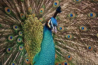 Blue, green, and orange peacock