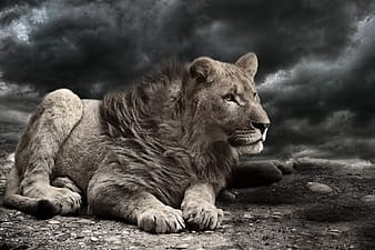 Closeup photo of liger with black clouds background
