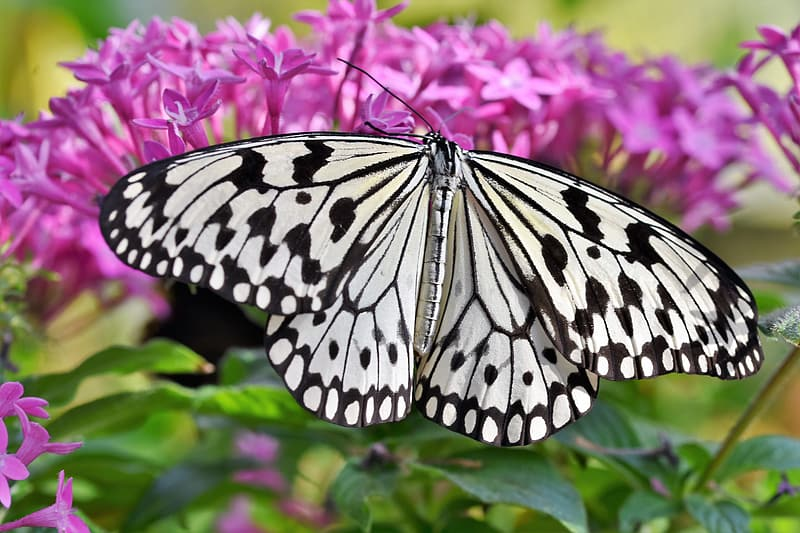 Black and white butterfly perched on pink flower in close up photography during daytime