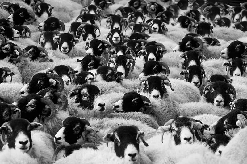 Flock of sheep grayscale photo