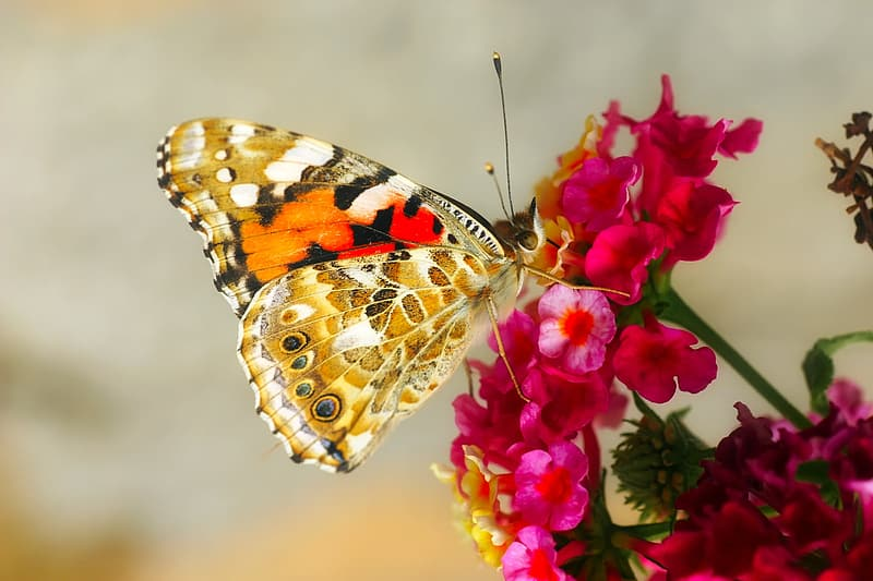 Painted lady butterfly perched on pink petaled flower in selective focus photography