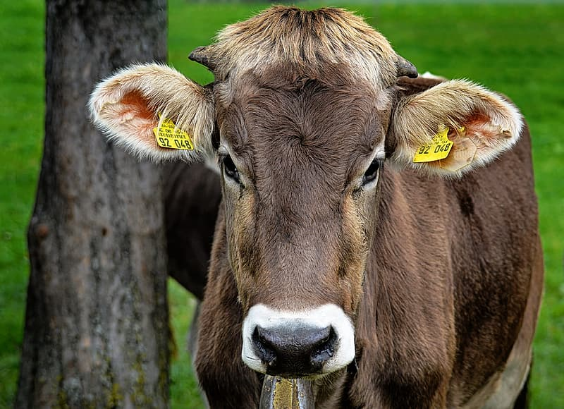 Brown cow standing on green grass field during daytime