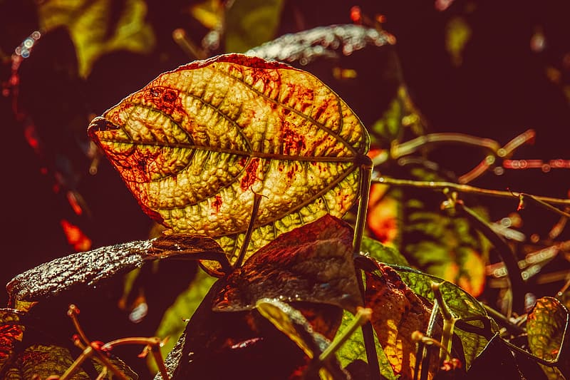 Red and green leaf plant