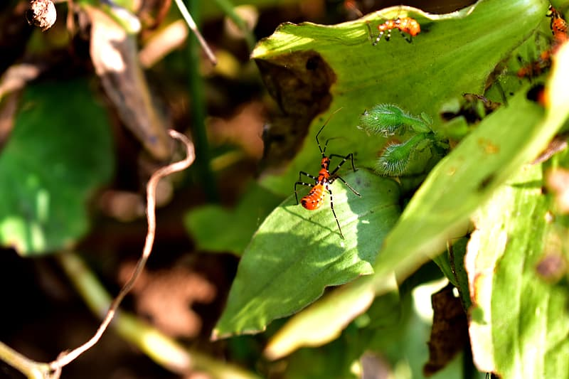 Red and black bug on green leaf