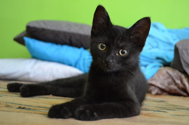 Short-coated black cat