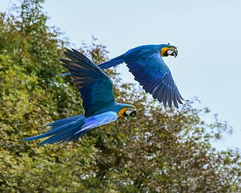 Two blue-and-yellow macaw parrot flying photography