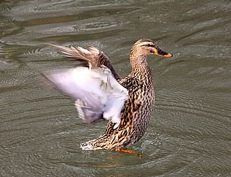 Brown duck on water flapping its wings