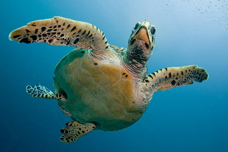 Green and black swimming turtle