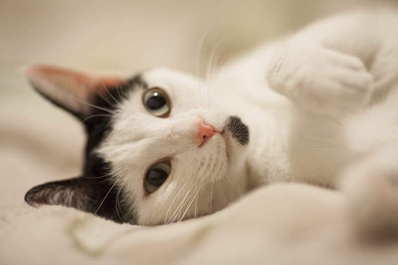 Photo of gray and white cat lying on cloth