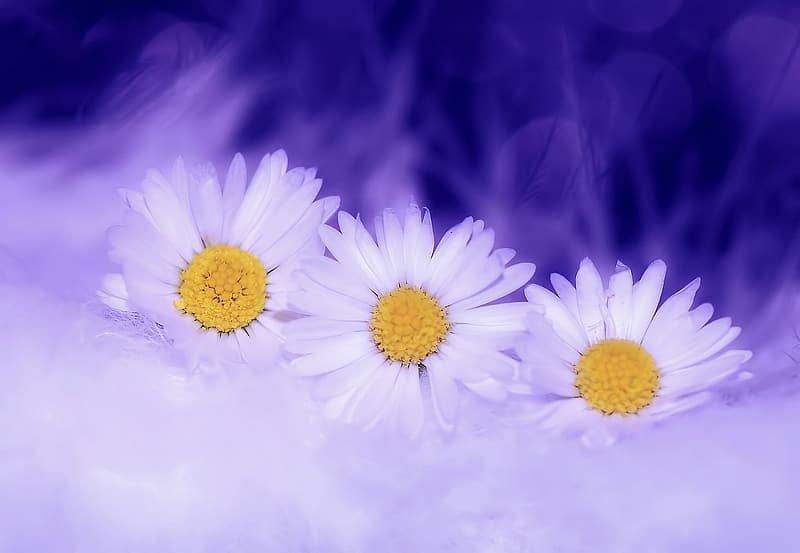 Three white daisy flowers
