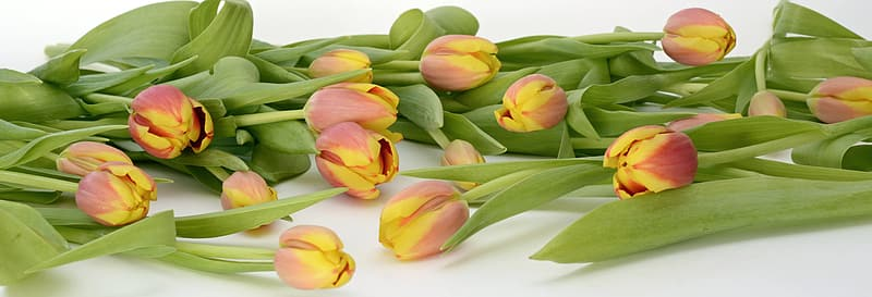 Red-and-yellow tulip flowers