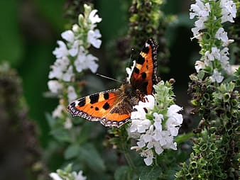 Painted lady butterfly perching on white flower during daytime