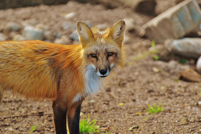 Red fox standing on ground