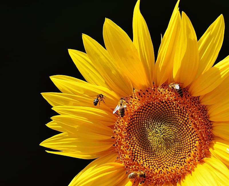 Yellow sunflower with black background
