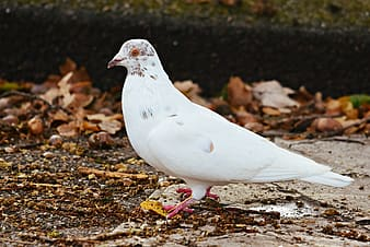 White dove on brown dried leaves