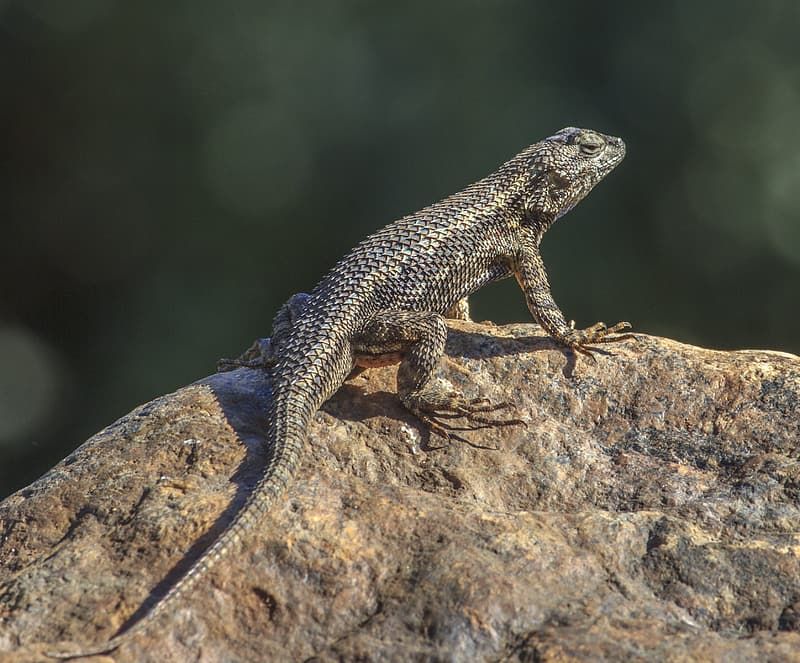 Black and white lizard on brown rock