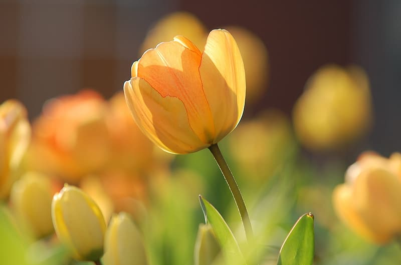 Selective focus photography of yellow tulip flower