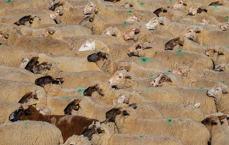 Herd of brown sheeps
